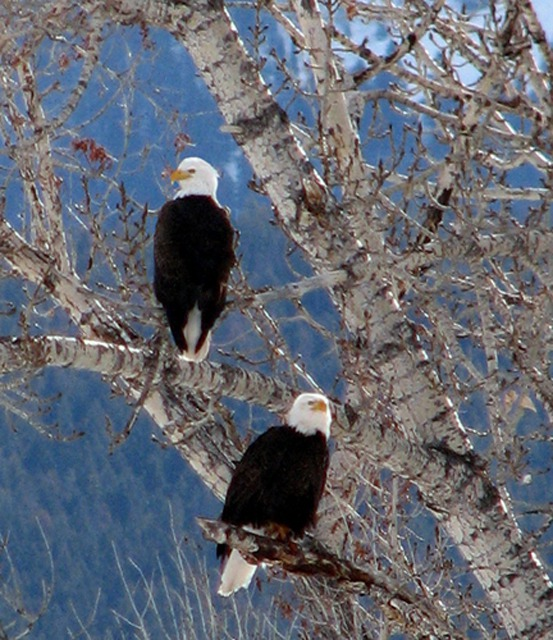 Bald Eagle (Haliaeetus leucocephalus) Pair Near Chico Hot Sptings