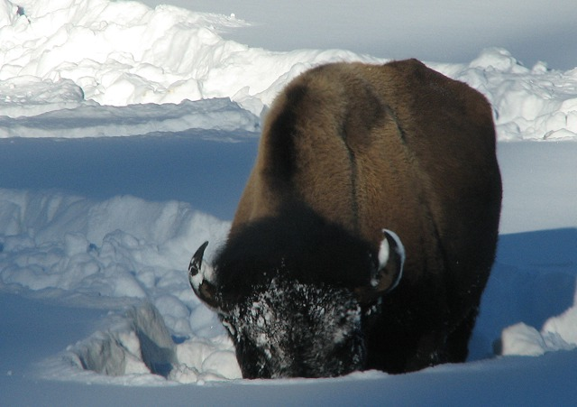 Bison in a Food Hole