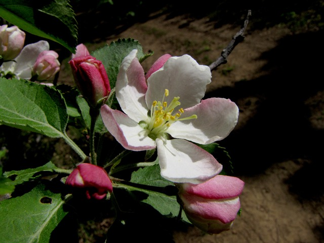 A Geographically-anomalous Apple Blossom