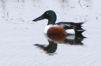 Northern Shoveler (Anas clypeata) Swims the Musselshell River MT