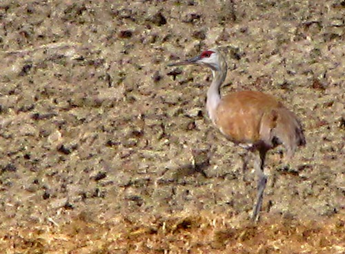 Sandhill Crane (Grus canadensis) Near the Musselshell River MT