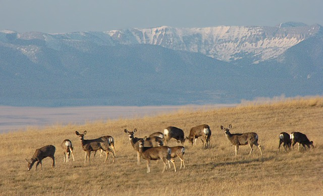 Mule Deer (Odocoileus hemionus) With the Big Snowy Mountain Range in the Background