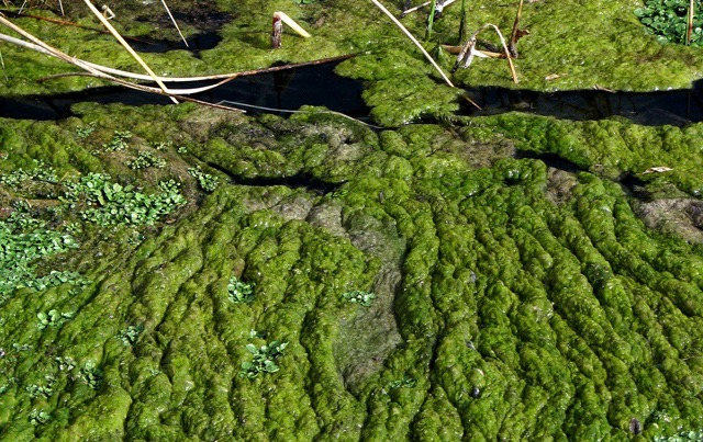 Warm Water Gives Rise to Algae Flows