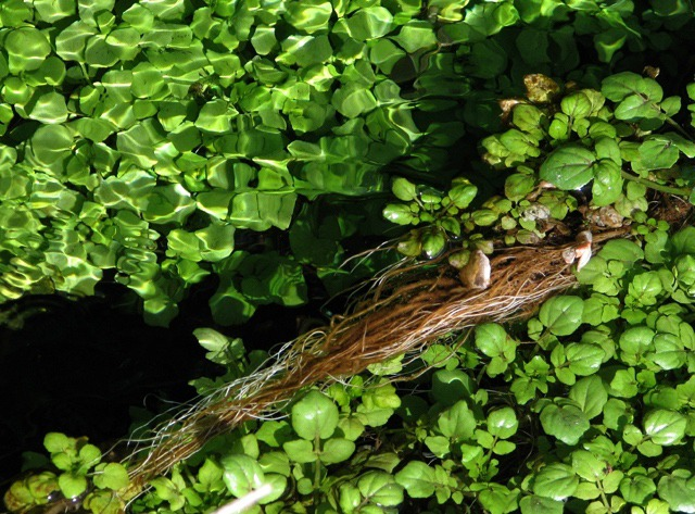 Warm Water Creates a Wealth of In-Stream Vegetation