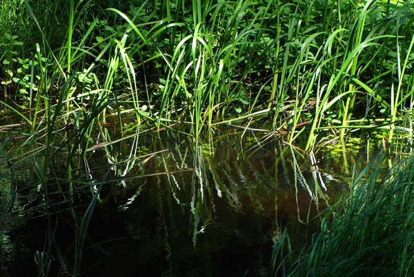 Streamside Grass Reflection