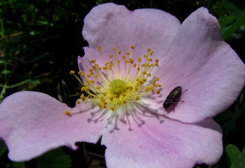 Bug on Prickly Rose (Rosa acicularis)