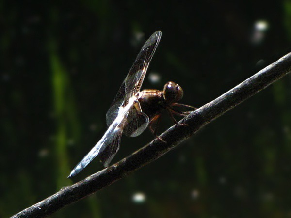 Common Whitetail or Long-tailed Skimmer Dragonfly (Plathemis lydia)