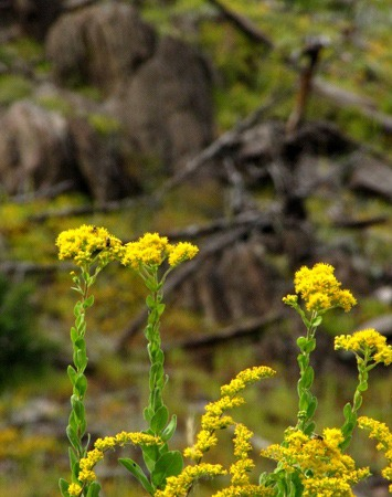Stiff Goldenrod (Solidago rigida) Against a Hillside on Black Hills National Forest Road 372
