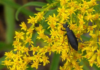 Beetle on Giant Goldenrod (Solidago gigantea)