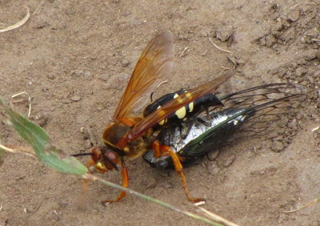Cicada Killer Wasp (Sphecius speciosus) in Action