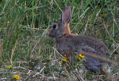 Mountain Cottontail (Sylvilagus nuttallii) Bunny in the Brush