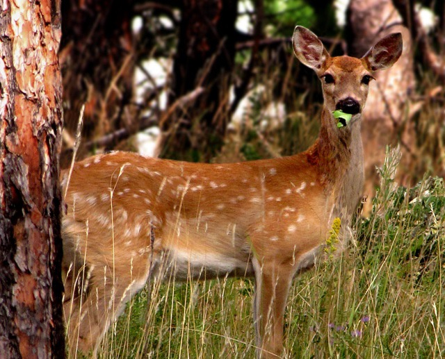 White-tail Fawn (Odocoileus virginianus) Eating a Leaf