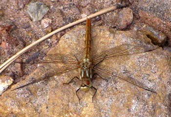Quizzical Four-spotted Skimmer Dragonfly (Libellula quadrimaculata) on Roadside Rock