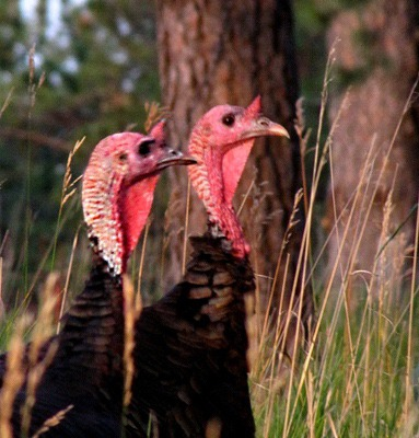 Wild Turkeys (Meleagris gallopavo) at Dusk