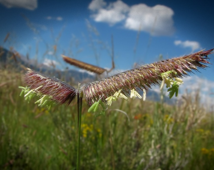 Grama Grass (Bouteloua gracilis) in Bloom on Grassland Foothills