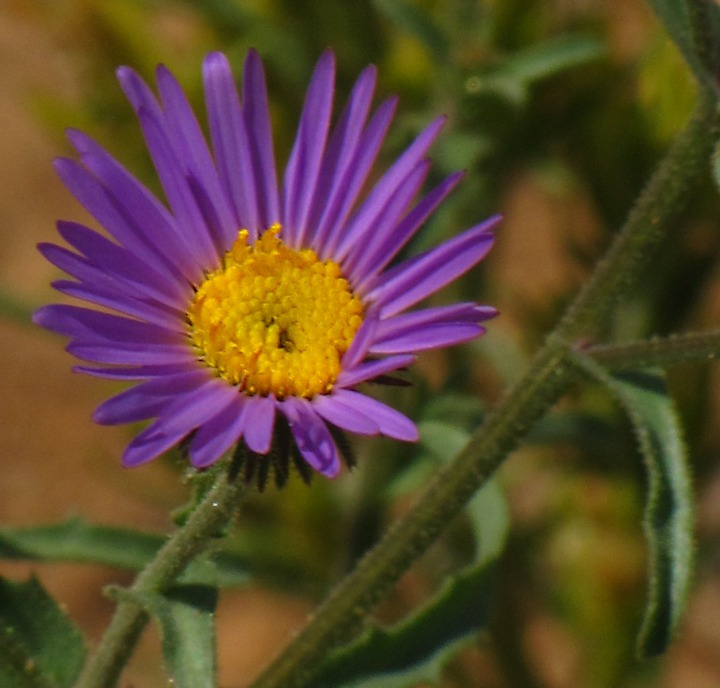 Hoary Aster (Dieteria canescens)