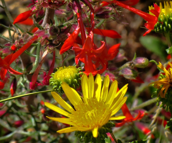 Curly Cup Gumweed (Grindelia squarrosa) and Scarlet Gilia (Ipomopsis aggregata)
