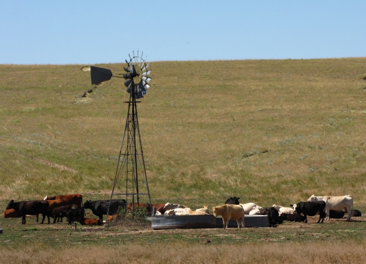 Cows Around a Windmill-Fed Water Tank