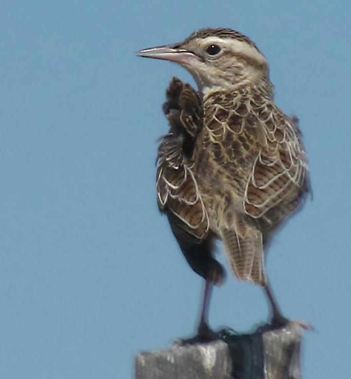 Another Young Western Meadowlark (Sturnella neglecta) on a Post