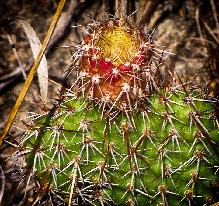 Prickly Pear Cactus (Opuntia Polyacantha) with Late Summer Fruit