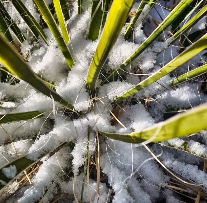 Snow Amid Yucca Spikes
