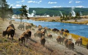 Yellowstone cow herd.